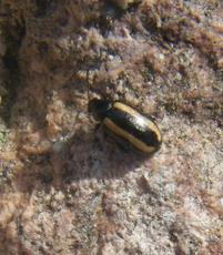 Large Striped Flea Beetle