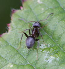 Small Black Ant