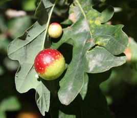 Cherry Gall Wasp