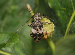 Black-clouded Longhorn Beetle