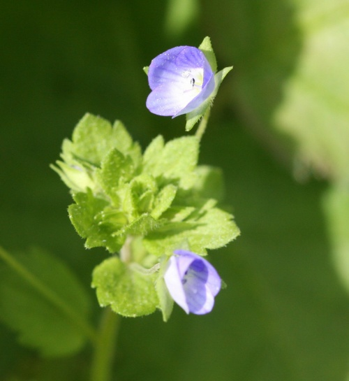 Ivy-leaved Speedwell Veronica hederifolia