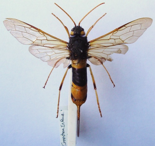 Giant Woodwasp