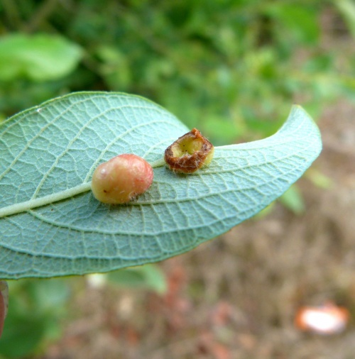 Willow Gall Sawfly