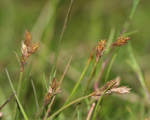Oval Sedge