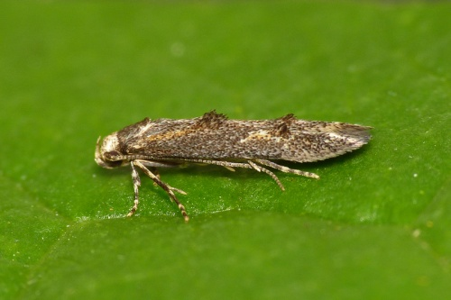 Apple Pith Moth
