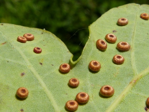Silk Button Gall Wasp