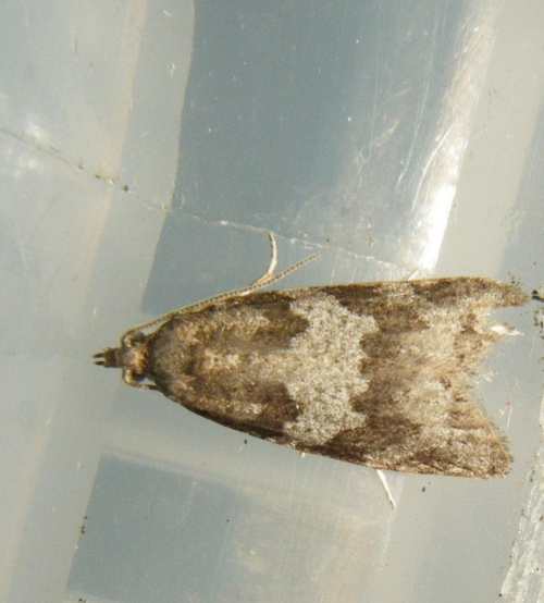 Light Grey Tortrix