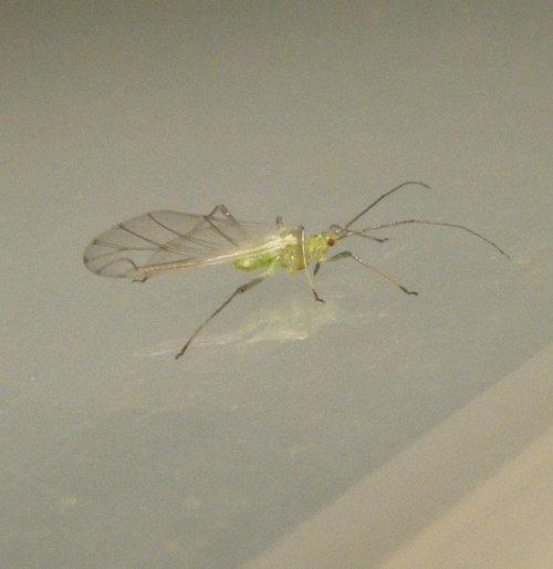 Birch Aphid