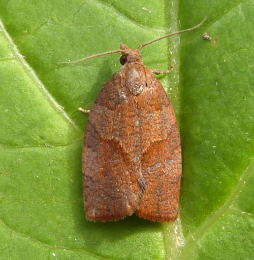 Dark Fruit-tree Tortrix