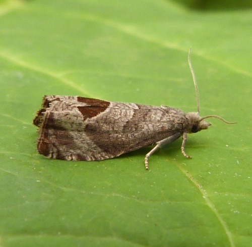 Bramble Shoot Moth