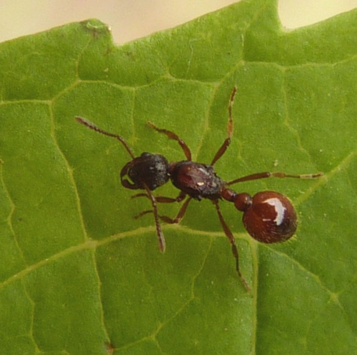 Common Red Ant