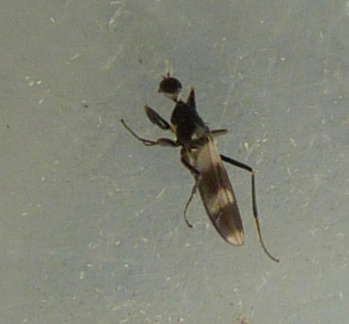 Tachydromia umbrarum
