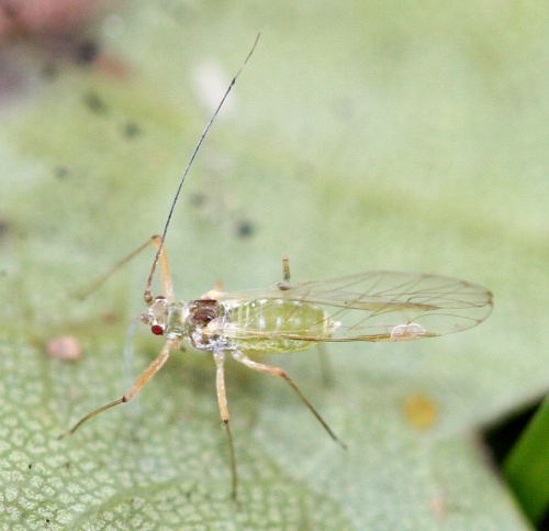 Sycamore Aphid