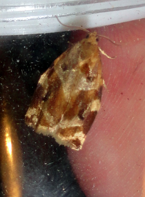 Variegated Golden Tortrix