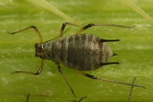 Large Thistle Aphid
