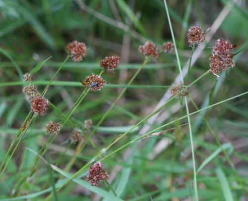 Heath Wood-rush Luzula multiflora