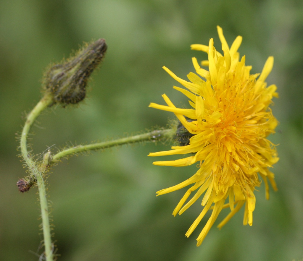 Perennial sow thistle naturespot perennial sow thistle sonchus arvensis mightylinksfo
