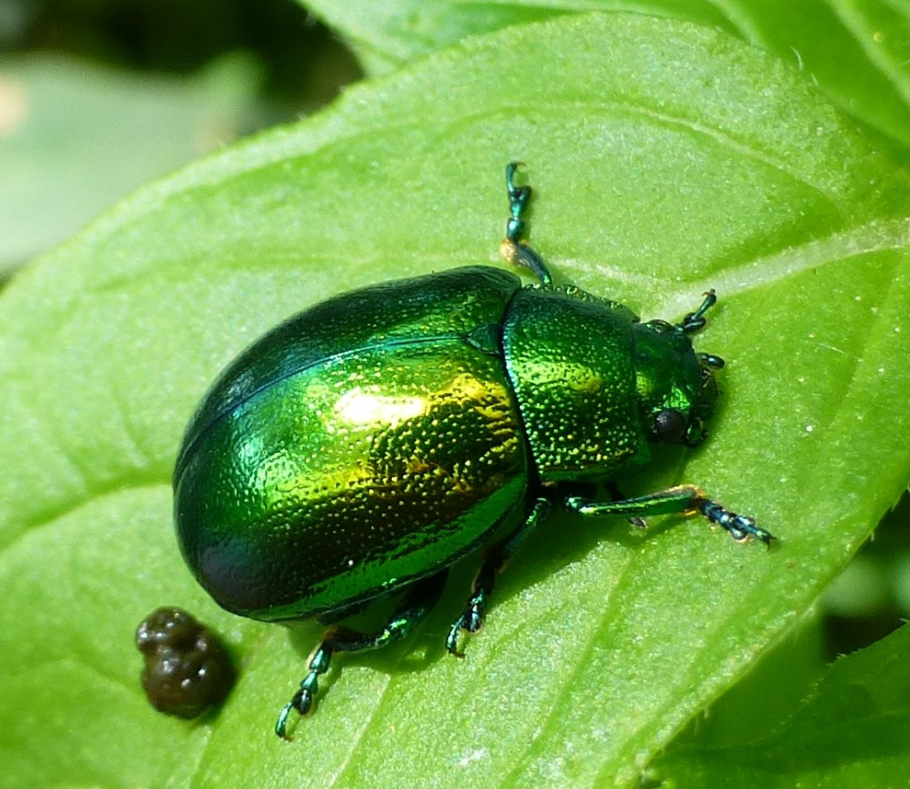 Leaf Beetle Mint Leaf Beetle | Nat...