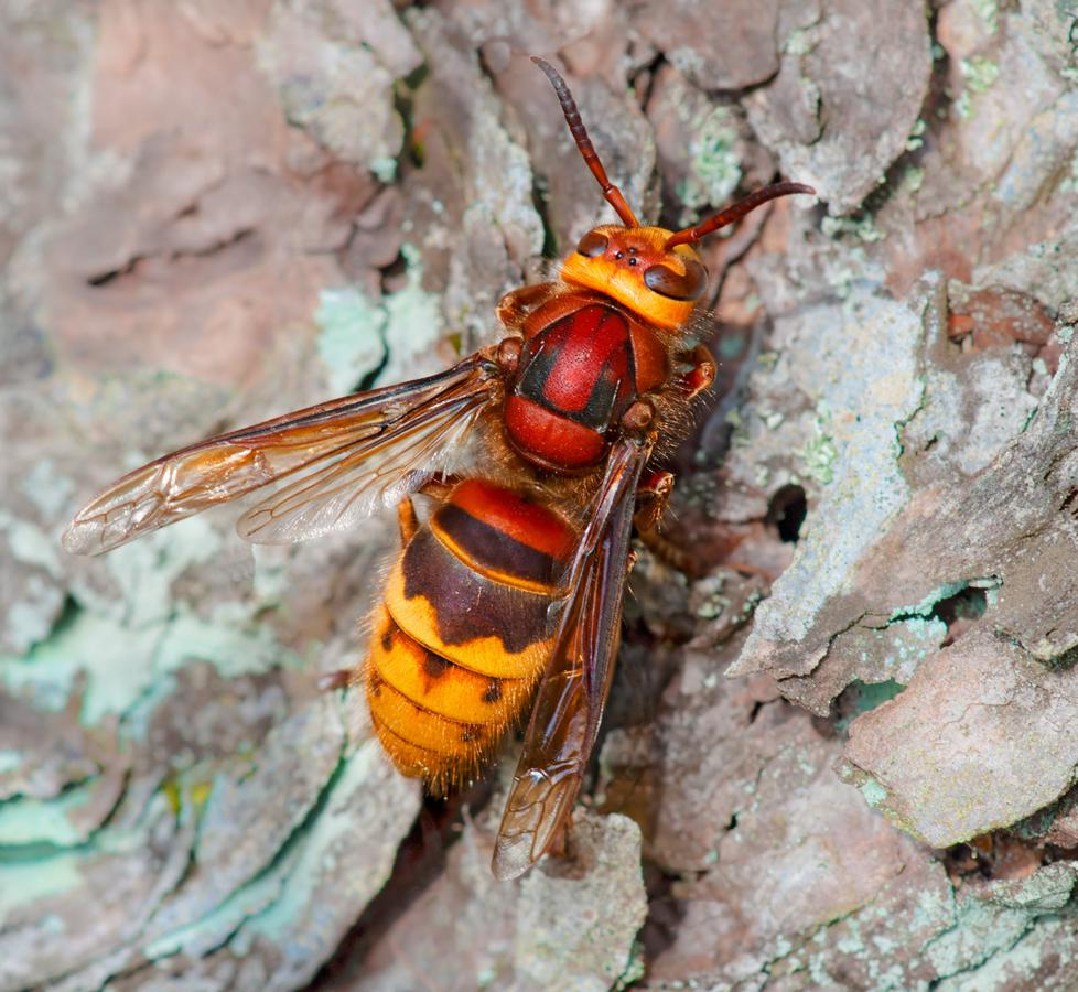 drones bee with Hor on Watch besides Hor additionally Paper Wasp moreover The First Drone as well Insects Types Of Wasps Wasp Sting Treatment.