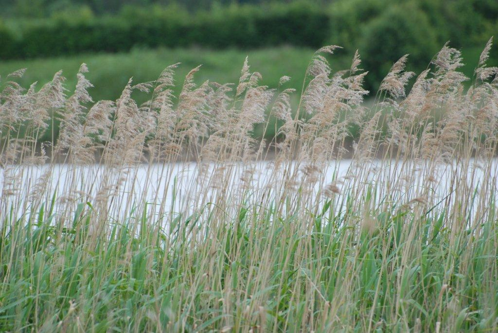 Common Reed Naturespot