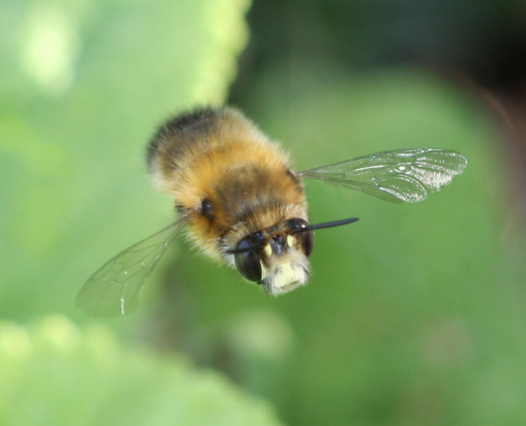 Hairy-footed Flower Bee | NatureSpot