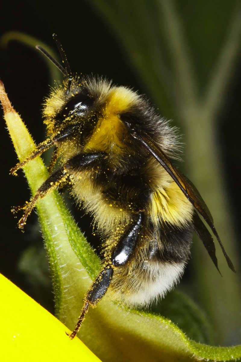 White-tailed Bumble Bee | NatureSpot