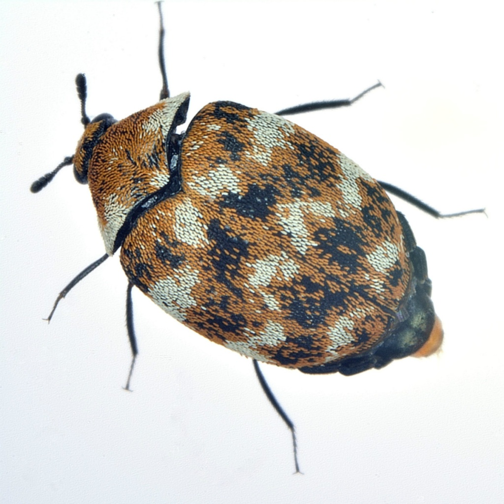 Varied Carpet Beetle Naturespot