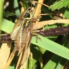 Metrioptera roeselii | Roesel's Bush-cricket