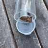 Noctua janthe | Lesser Broad-bordered Yellow Underwing