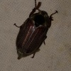 Melolontha melolontha | Common Cockchafer