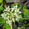 Anthriscus sylvestris | Cow Parsley