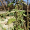 Urtica dioica | Common Nettle