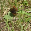 Erebia aethiops | Scotch Argus