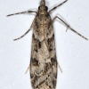 Eudonia angustea | Narrow-winged Grey