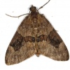 Thera obeliscata | Grey Pine Carpet