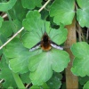 Bombylius major | Bee Fly