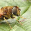 Eristalis pertinax | Tapered Drone Fly