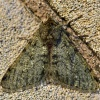 Phigalia pilosaria | Pale Brindled Beauty