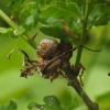 Andricus aries | Ram's-horn Gall Wasp