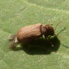 Anobium punctatum | Common Furniture Beetle