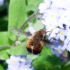 Bombylius discolor | Dotted Bee-fly