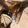 Bombylius discolor   Dotted Bee-fly