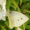 Pieris rapae | Small White