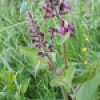 Stachys sylvatica | Hedge Woundwort