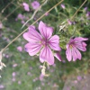 Malva sylvestris | Common Mallow