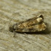 Celypha lacunana | Common Marble
