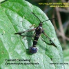 Synanthedon tipuliformis | Currant Clearwing