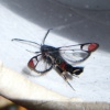 Synanthedon formicaeformis | Red-tipped Clearwing