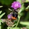 Bombus lapidarius | Large Red-tailed Bumblebee