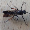 Episyron rufipes | Red Legged Spider Wasp